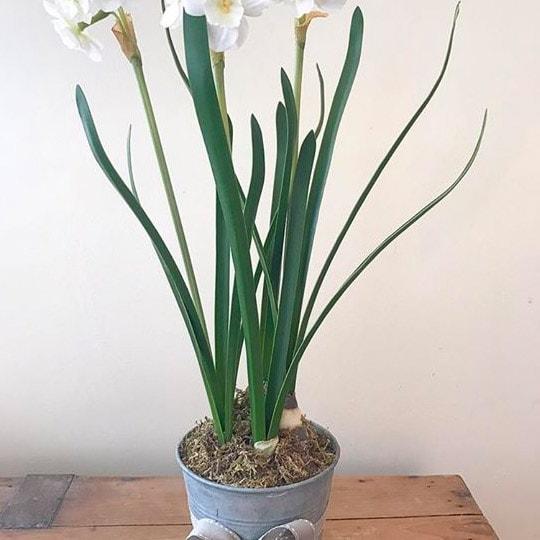 Large Paperwhite Plant in Zinc Pot