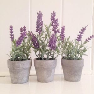 Mini Potted Lavender Plants