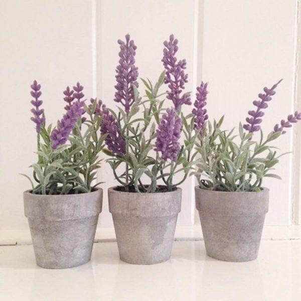 Mini Potted Lavender Plants