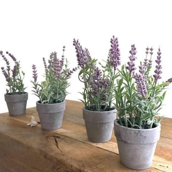 Mini Potted Lavender Plants Close Up