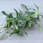 Mistletoe Branch