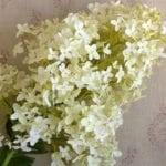 Hydrangea - Giant Pale Lime