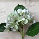 Hydrangea - Pale Lilac-Green